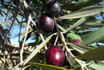 Huile d'olive et santé cardiovasculaire - Biblio